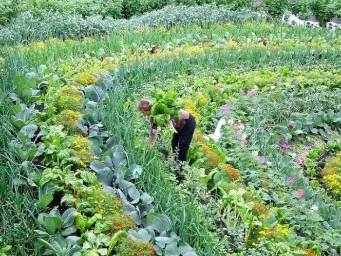 Beautiful_companion_row_planting-crop-1